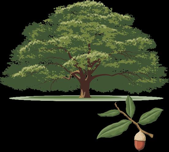 Иллюстрация дуб виргинский